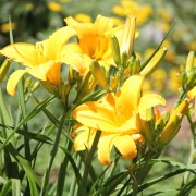 Expert advice for planting daylilies