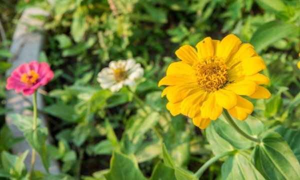 4 tips on caring for Zinnias