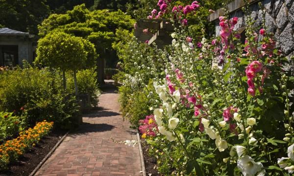 Mauve et rose tr mi re 2 plantes m dicinales qui embellissent votre jardin trucs pratiques - Planter des roses tremieres ...