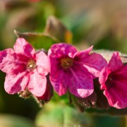 Le jardinage vert: faire pousser une bordure d'œillets