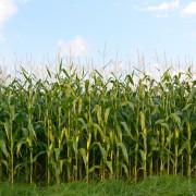 Jardinage bio: cultiver le maïs