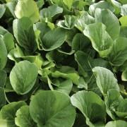 Recommandations pour cultiver des bergenias avec peu d'entretien