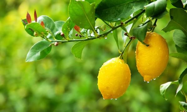 L'abc du citron : ce qu'il faut savoir sur ce fruit polyvalent