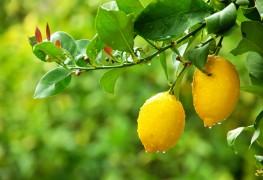 Comment préparer de la poitrine de dinde rôtie aux citrons confits et au romarin