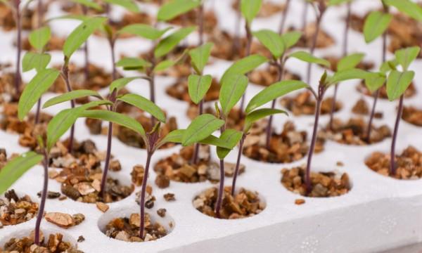 Comment cultiver desannuelles à partir de graines semées à l'intérieur