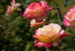 5 notions claires pour cultiver les roses vous-même