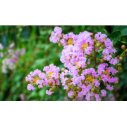 9 infos utiles à savoir sur le myrte : une plante médicinale aromatique
