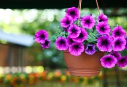Guide du jardinier pour faire pousser les pétunias