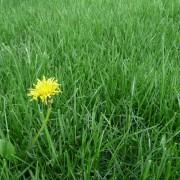 Que faire des mauvaises herbes dans votre pelouse?