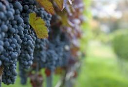Choisir des raisins à cultiver écologiquement