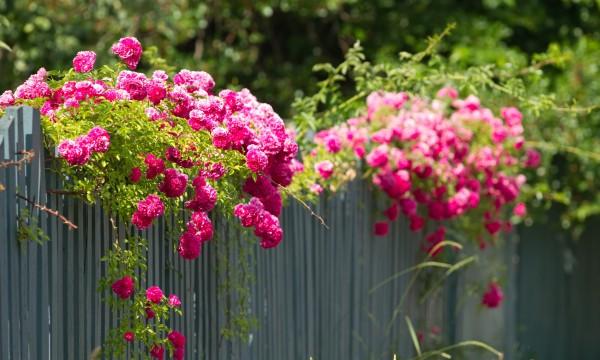 Vignes sans souci: le rosier grimpant