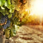 Conseils d'experts pour cultivervos propres vignes