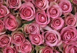 4problèmes courants avec des roses