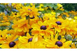 Infos utiles à connaitre sur l'échinacée : une plante médicinale à cultiver