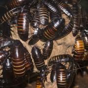 Comment contrôler les perce-oreilles et les scarabées japonais dans votre jardin