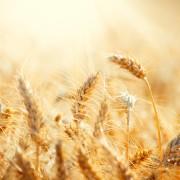 Apprenez à faire la différence entre les différents grains et herbes