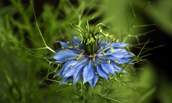 Plantes annuelles faciles d'entretien : la Belle-aux-cheveux-dénoués