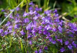 9 infos utiles sur le calament : une plante médicinale et aromatique