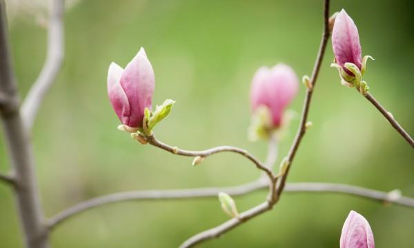 Guide facile pour cultiver de superbes magnolias étoilés