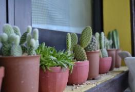 Trucs et astuces pour prendre soin des cactus