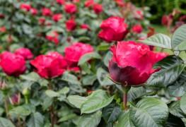 5 conseils pour tailler vos roses de façon à ce qu'elles restent belles et en santé