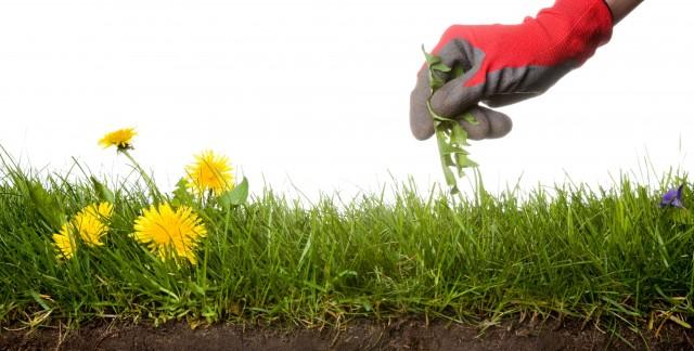 9 mauvaises herbes et comment les éliminer
