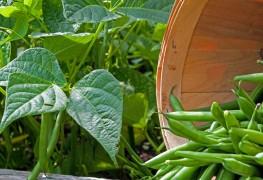 AComment cultiver les haricots avec succès