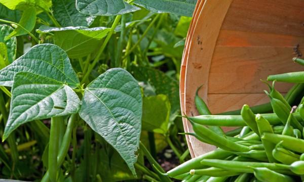 Acomment cultiver les haricots avec succ s trucs pratiques - Variete de haricot vert ...