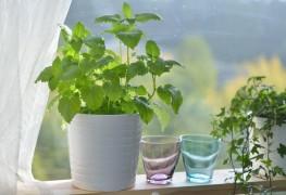 Cultivez la menthe, c'est bon pour la santé !