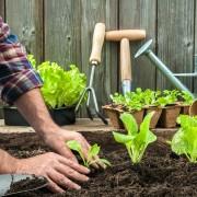 Découvrez la germandrée et cultivez-là !