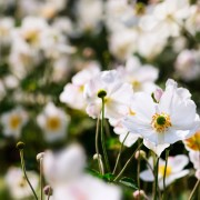 5 conseils de jardinier pour faire pousser l'anémone du Japon