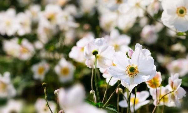 5 conseils de jardinier pour faire pousser l 39 an mone du japon trucs pratiques. Black Bedroom Furniture Sets. Home Design Ideas