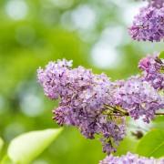 4 raisons pour faire pousser deslilas dans votre jardin