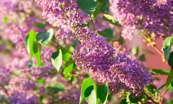 4 astuces pour cultiver des lilas luxuriants
