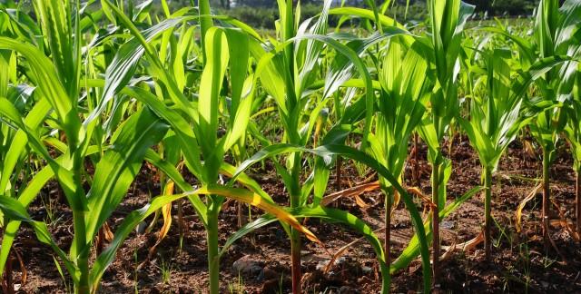 Les faits sur le sorgho, le maïs et la collecte de grains