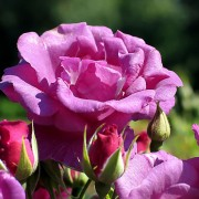 5 méthodes efficaces pour lutter contre les pucerons dans le jardin
