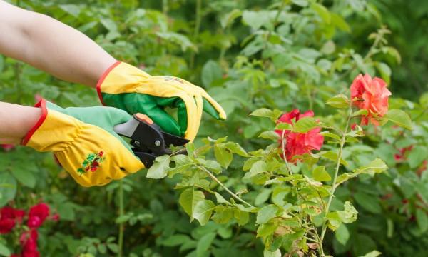 5 conseils pour prendre soin de votre roseraie