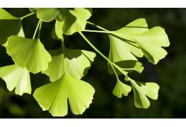 8 infos utiles et pratiques sur le ginkgo et ses nombreuses vertus