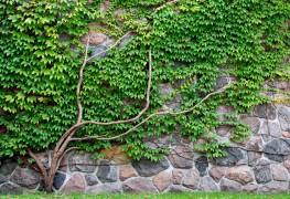 Pelouses sans soins: couvre-sol à feuilles persistantes