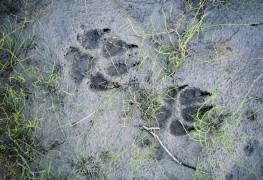 Comment identifierles traces d'animaux les plus courantes