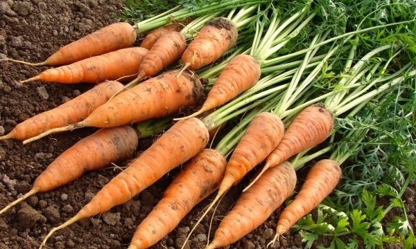 6 conseils pour des carottes sucrées et croquantes