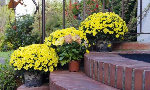 6 conseils pour cultiver le chrysanthème