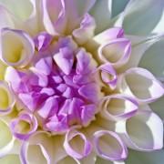 Le plaisir des dahlias: conseils pourplanter et entretenir ces beautés