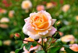 Conseils astucieux pour cultiver et entretenir un jardin de roses