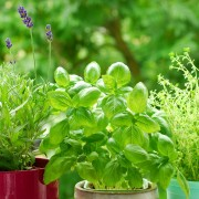 Guide pour cultiver et sécher des herbes en pot