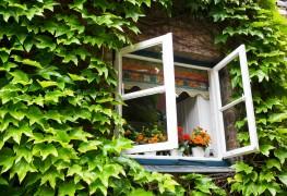 Des plantes grimpantes sans prise de tête : l'aristoloche