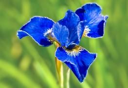 Quelques conseils pour faire pousser de superbes iris