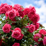 8 conseils astucieux pour planter des rosiers dans votre jardin