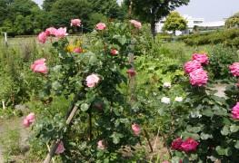 8 chosesà savoir pourplanter un nouveau jardin de roses