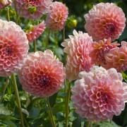8 façons decultiverde beaux et grands dahlias